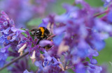 A bumblebee on a purple peppermint flower