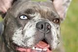 Bulldogge mit bi color Augen
