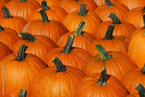 pumpkin harvest in autumn season - 159785138