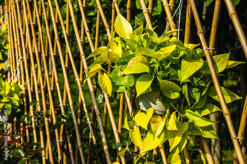 Bamboo fence scenery in garden