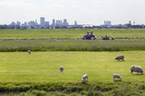 Sheep grazing with Rotterdam in the background