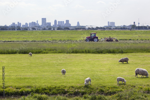 Plexiglas Rotterdam Sheep grazing with Rotterdam in the background