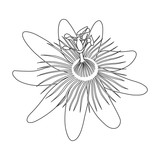 Isolated hand drawn black outline monochrome flower of passionflower,passiflora on white background. Print of curve lines. Page of coloring book.