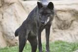 Timberwolf, Amerikanischer Grauwolf