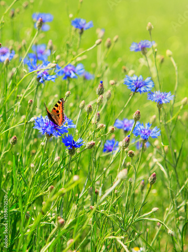 Corn flower field and butterfly. - 159870528