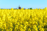 Old wooden windmill at the end of a yellow rapeseed field. Copy space.