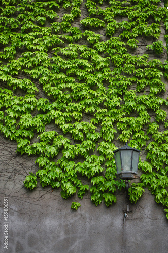 Poster Natural ivy growth by green wall of leaves