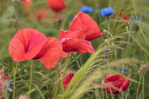 Poppy meadow, poppies and cornflowers