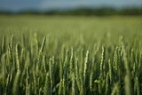 Wheat - 159928519