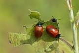 Drei Pappelblattkäfer (Chrysomela populi)