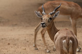 Beautiful antelope close up