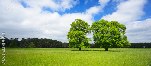 Two Mighty Oak Trees on Meadow in Spring, fresh green leaves - 159967168