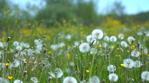 Keuken foto achterwand Paardebloemen en water Field of dandelions in a meadow