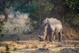 Adult Female Rhino in Ziwa Rhino Sanctuary, Uganda
