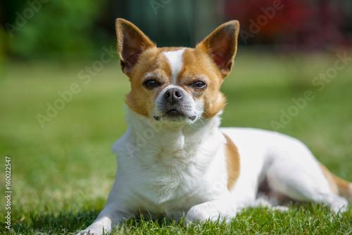 Chihuahua Hund schaut sehr aufmerksam Poster
