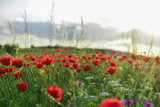 poppy flowers and peaceful nature