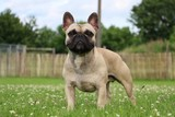 französische bulldogge steht im garten