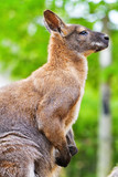 Young red kangaroo With muscles