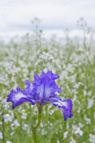 Aluminium Iris Blue bearded Iris in meadow with sky/Blue bearded Iris in meadow of soft white flowers
