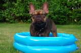 Bulldogge im Bassin