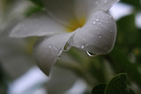 Drops on the plumeria flowers, macro. After a rain