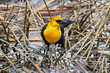 A yellow headed blackbird showing off its bright chest