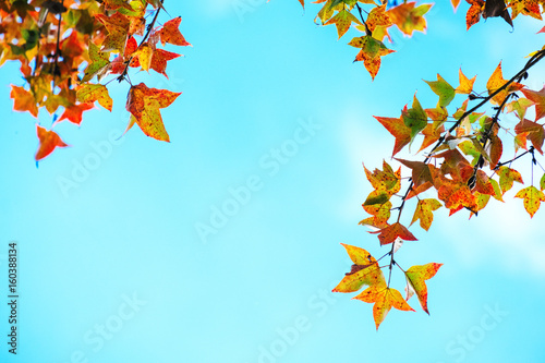 Beautiful autumn leaves and sky background in fall season, Colorful maple foliage tree in the autumn park, Autumn trees Leaves in vintage color tone.