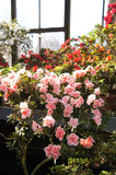 Many pink and red azalea or rhododendron flowers in greenhouse