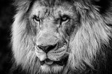 Ferocious stare of a powerful male African lion in black and white
