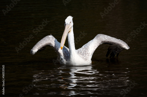 Fotobehang Pelican