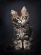 Black tabby Maine Coon kitten (Orchidvalley) sitting isolated on black background