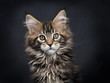 Head shot of black tabby Maine Coon kitten (Orchidvalley) sitting isolated on black background