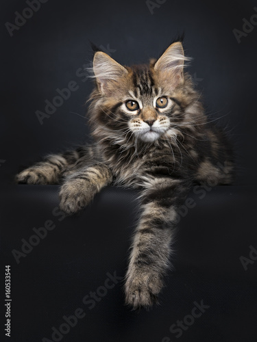 Black tabby Maine Coon kitten (Orchidvalley)  laying isolated on black backgroun Poster
