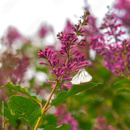 A butterfly on the blooming lilac flowers
