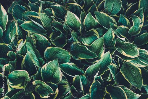 Fototapeta Green Hosta Leaves