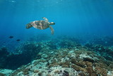 A green sea turtle underwater swims over a coral reef, Pacific ocean outer reef of Huahine island, French Polynesia