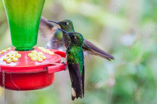 Hummingbirds przy dozownikiem w Cocora dolinie, Kolumbia
