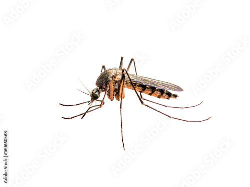 Zika or Malaria Virus Infected Mosquito Isolated on White - 160660568
