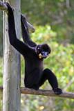 Black Gibbon Monkey