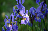 Purple and Yellow Irises