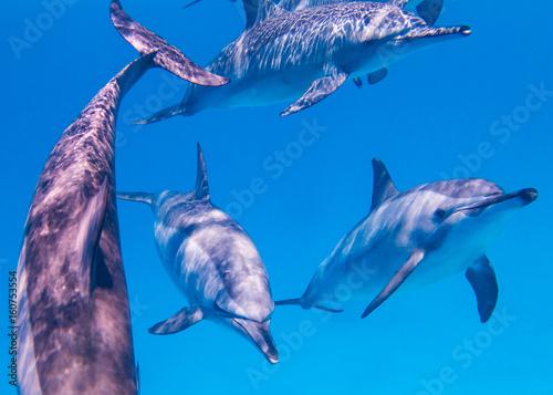 Fotobehang Dolfijn Osttpazifische Delfine im Roten Meer