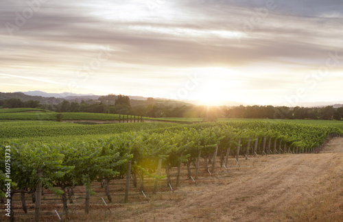 panoramic view of grape plantation of Napa valley in summer time