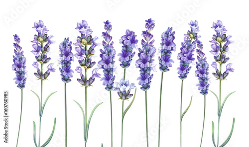 Lavandula aromatic herbal flowers. - 160760985