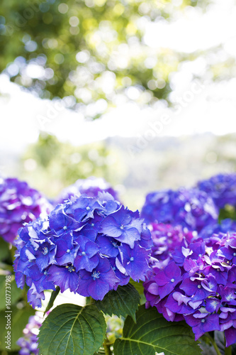 flowers of the hydrangea blooming in the garden outdoors