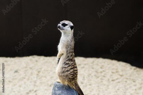 Meerkat sitting Poster