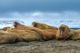 Walrus ( Odobenus rosmarus )