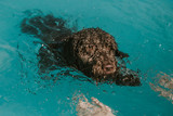 Beautiful brown colored spanish water dog learning to swim in a small pool with its owner