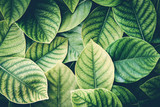 the Fresh tropical Green leaves background , retro vintage colortone - 160840356