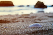 A white seashell in the sand overlooking the ocean