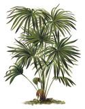 Plant - Livistona (Corypha) australis - Cabbage-tree Palm / Vintage illustration - 160864505